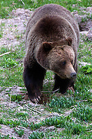 Yellowstone is Grizzly country. This Grizzly bear (Ursus arctos horribilis)<br /> is a top predator. An omnivore who eats both meat and plants he is constantly in search of food.
