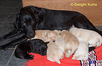SH36-500z  Black Lab Mother and genetic variation puppies - white, black and yellow
