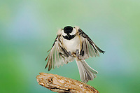 Carolina Chickadee, (Poecile carolinensis), adult in flight, New Braunfels, Hill Country, Texas, USA, November 2005