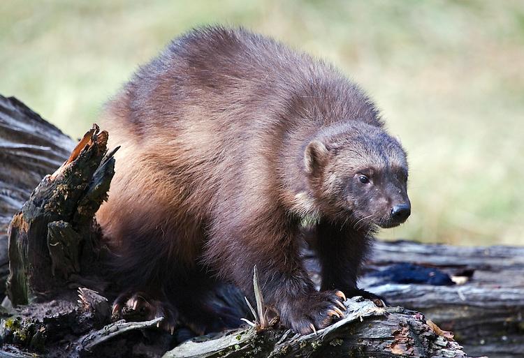 Woverine standing on log