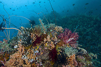 Coral Reef, Lembeh, North Sulawesi, Indonesia,