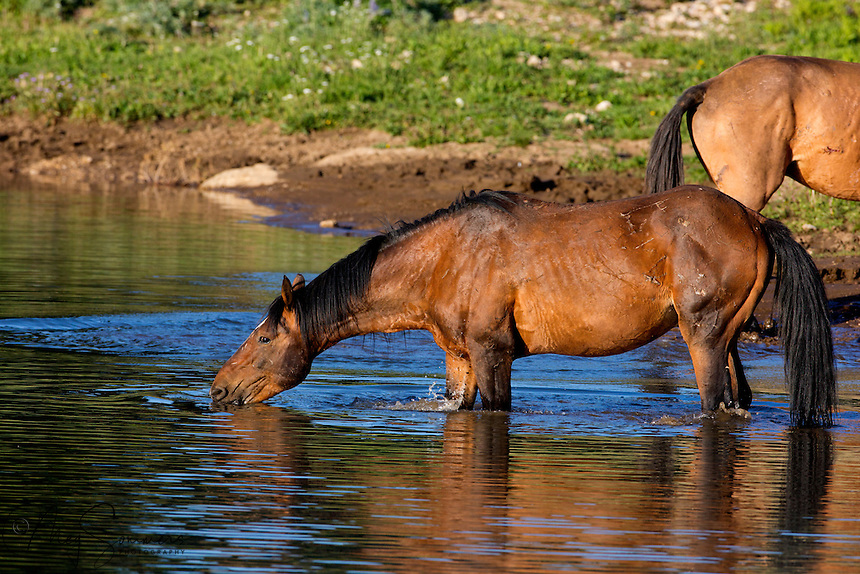 The stallion Morning Star enjoys a drink of cool water.