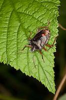 Rotbeinige Baumwanze, Pentatoma rufipes, forest bug