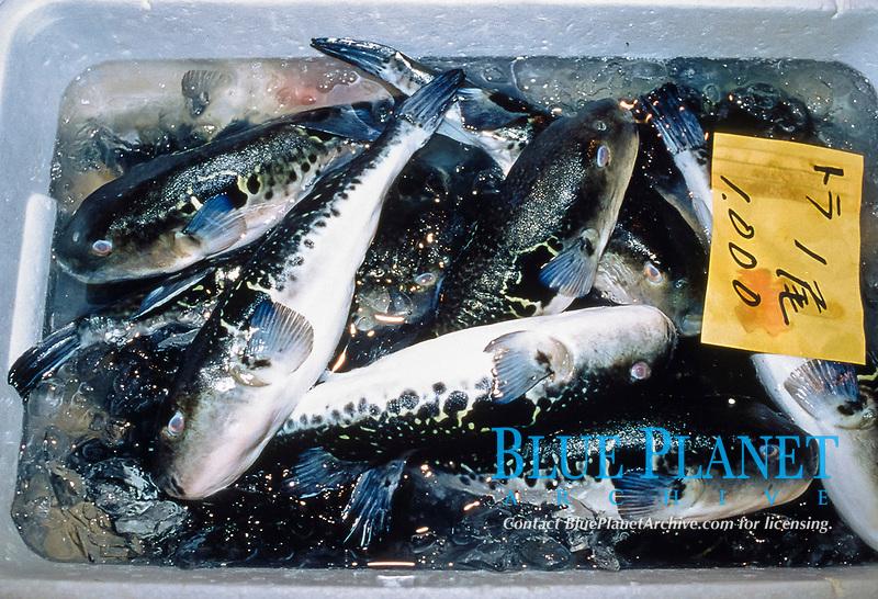 Japanese puffer, tiger puffer, or torafugu, Takifugu rubripes, - some organs of this fish are highly toxic, Tsukiji Fish Market, Tokyo Metropolitan Central Wholesale Market, Tsukiji, Tokyo, Japan
