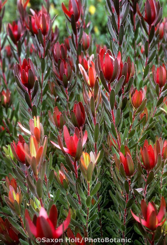 Leucadendron 'Safari Sunset' drought tolerant shrub