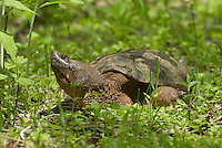 Common Snapping Turtle (Chelydra serpentina), a large common freshwater turtle native to North America. Average sized individuals weigh 15-20 pounds. Magee Marsh Wilflife Refuge, Ohio, USA.
