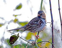 Harris's sparrow adult in January