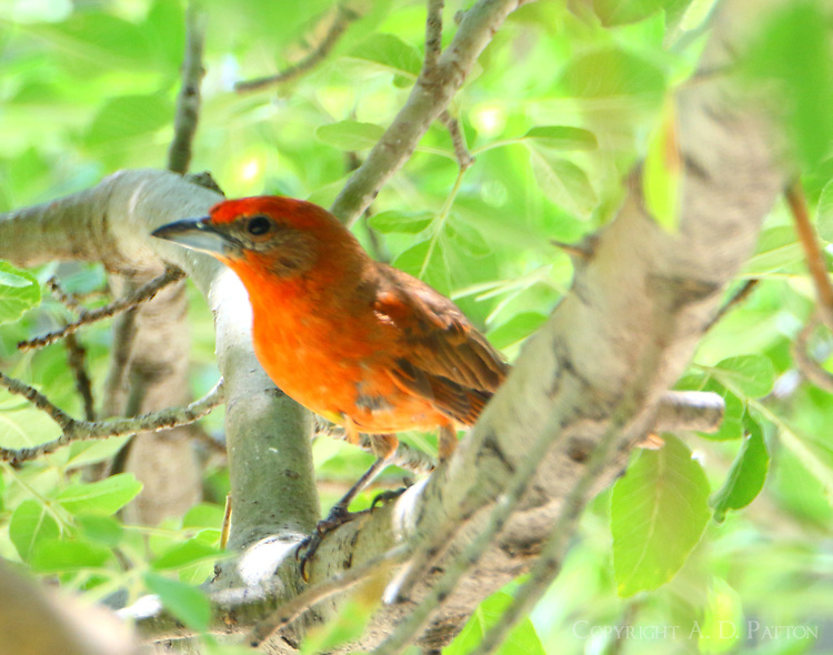 Adult male hepatic tanager