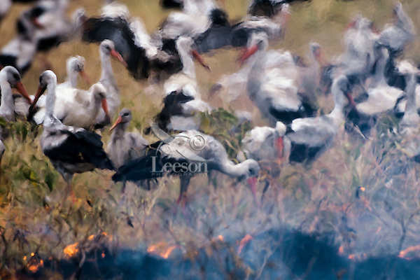 White storks or European Storks (Ciconia ciconia) feeding on edge of grass fire--catching snakes, insects and small rodents which are fleeing the fire, Africa