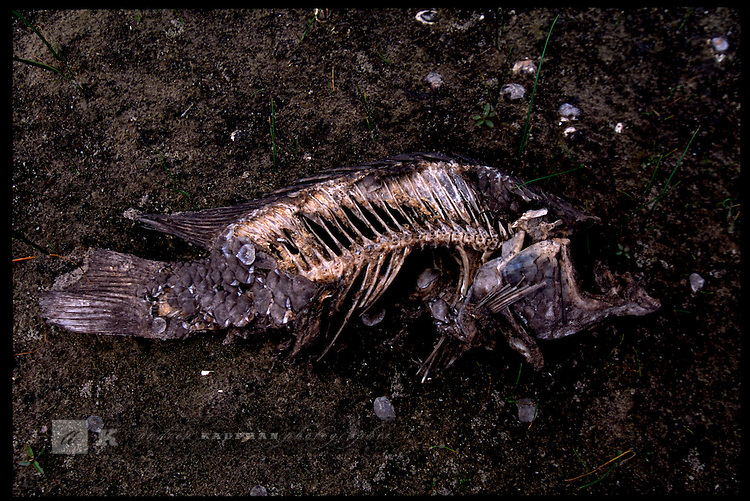 MAY 21, 2001. LAKE OKEECHOBEE, FLORIDA. Lake conditions are at about 9.5 three feet under average. Conditions are expected to get worse in the next few months. Here a dead fish on Eagle Bay Island.