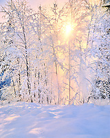 Evening sun glowing through snow falling off alder trees in Mt Hood National Forest, Oregon