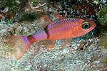 Apogon planifrons, Pale cardinalfish, Exuma, Bahamas