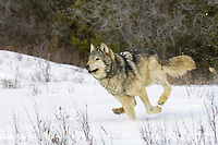 Timber Wolf (Canis lupus lycaon), adult, running in snow, USA, America, North America