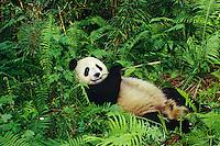 Giant Panda eating bamboo at Wolong Nature Reserve in central China.