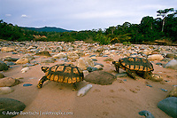 Yellow-footed Tortoises (Chelonoidis denticulata), pair on riverbank, lowland tropical rainforest along Alto Madidi River, Madidi National Park, Bolivia.