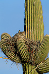 Great horned owl nests in saguaro cactus, Saguaro National Park, Arizona.