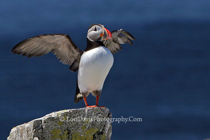 Atlantic Puffin, Wings Extended  #P11