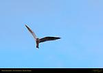 White-Tailed Kite, Evening Flight (head-on), Ballona Creek, Southern California