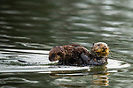 Sea Otter (Enhydra lutris) mother carrying pup, Elkhorn Slough, Monterey Bay, California