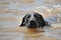Black Labrador dog swimming.....Copyright..John Eveson, Dinkling Green Farm, Whitewell, Clitheroe, Lancashire. BB7 3BN.01995 61280. 07973 482705.j.r.eveson@btinternet.com.www.johneveson.com