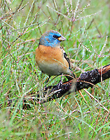 First-spring male lazuli bunting. This bird and painted and indigo buntings were feeding on the weed seeds in the dried up Paradise Pond at Port Aransas. This photo was taken on May 10, 2014 and the lazuli bunting had been there for four or five days at that time. No need to move away from all that bunting food.