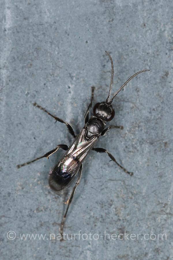 Wegwespe, Dipogon spec., syn. Pompilus spec., Wegwespen, Pompilidae, spider wasps, pompilid wasps