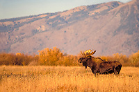 moose, Alces alces, bull in a meadow at sunrise, Teton Range, Grand Teton National Park, Wyoming, USA