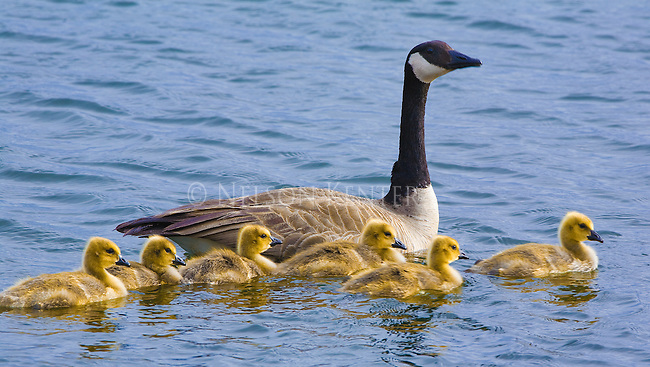 Canada Geese and chicks