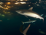 silky sharks at the surface, Carcharhinus falciformis, Gardens of the Queen, Cuba