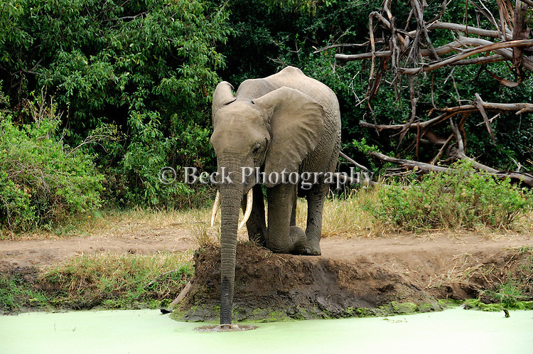 Kneeling down and getting a drink - elephant in Africa