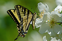 Western Tiger Swallowtail (Papilio rutulus) nectaring on Mock Orange flowers.  Pacific Northwest.  Summer.