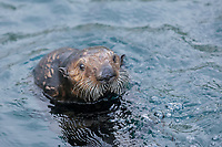 Southern Southern sea otter, Enhydra lutris nereis, pup looking around or spy hopping, Monterey, California, USA, Pacific Ocean, national marine sanctuary, endangered species