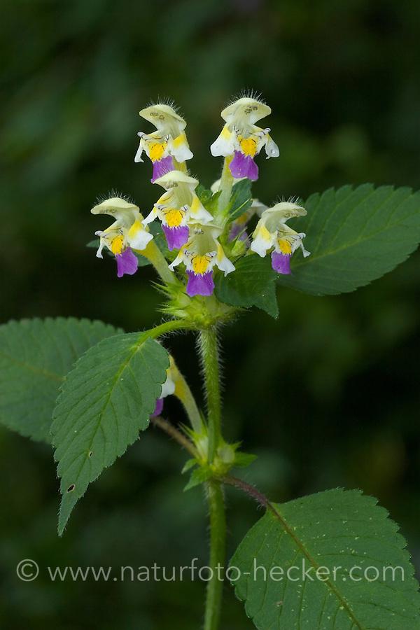 Bunter Hohlzahn, Hohl-Zahn, Galeopsis speciosa, Large-flowered Hemp Nettle, Large-flowered Hempnettle
