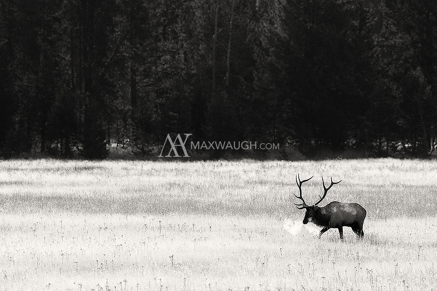 A frustrated bull elk wanders a meadow all alone in search of some lady elk.