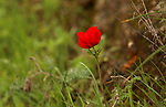 Red anemone coronaria flowers are seen bloom in the West Bank city of Nablus, on February 17, 2018. Photo by Shadi Jarar'ah