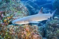 Whitetip reef shark, Triaenodon obesus, Carcharhinidae, Cocos Island, Costa Rica, Pacific Ocean, Middle America,