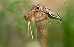 Two long front teeth on hare by Darren Harris