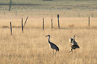 Four Sandhill Cranes, Grus canadensis, feeding in a meadow near Hyatt Lake, Oregon