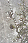 Three bald eagles share a tree on neighboring perches in Yellowstone National Park, Wyoming.