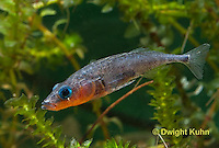 1S12-521z  Male Threespine Stickleback,  Mating colors showing bright red belly and blue eyes,  Gasterosteus aculeatus,  Hotel Lake British Columbia