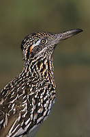 Greater Roadrunner, Geococcyx californianus, adult, Starr County, Rio Grande Valley, Texas, USA