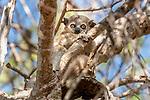 Petter's Sportive Lemur (Lepilemur petteri). Ifaty forest, south western Madagascar.
