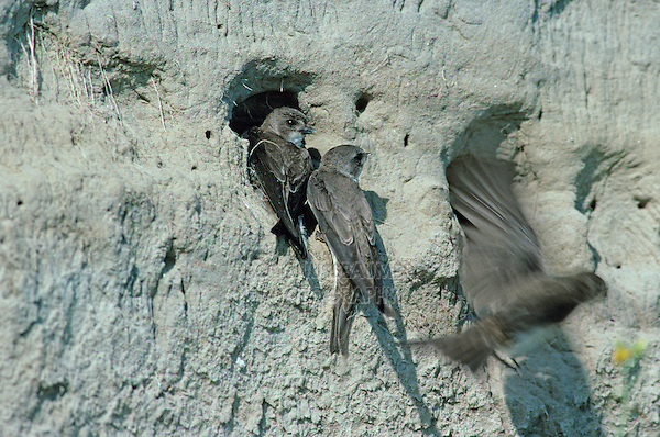 Sand Martin, Hirundo riparia, adults at nesting burrows in River bank, Scrivia River, Italy, June 1997