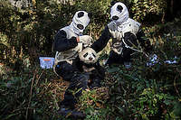 Researchers, dressed in a panda costumes, give a medical check to a four month old, female captive born panda at the Hetaoping Panda Conservation Centre. The researchers wear the panda costumes to prevent the captive born pandas from becoming accustomed to humans.