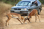 Sound the horn! Antelopes lock horns as they battle infront of cars on the road by Vedran Vidak