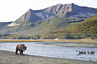 a photo of a coastal grizzly walking along a river in Katai National Park. Grizzly Bear or brown bear alaska Alaska Brown bears also known as Costal Grizzlies or grizzly bears Grizzly Bear Photos, Alaska Brown Bear with cubs. Purchase grizzly bear fine art limited edition prints here Grizzly Bear Photo Bear Photos,