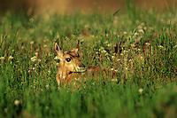 Pronghorn Antelope fawn (Antiloapra americana) laying in grass.  Western U.S., June.