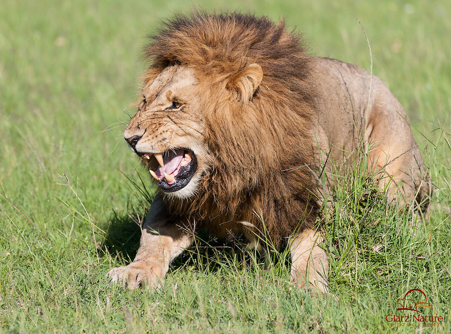"Mating Lion (Panthera leo) activating ""Flamen"" organ - used to analyze female's scent, Masai Mara"