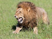 "Mating Lion (Panthera leo) activating ""Flamen"" organ - used to analyze female's scent, Masai Mara"