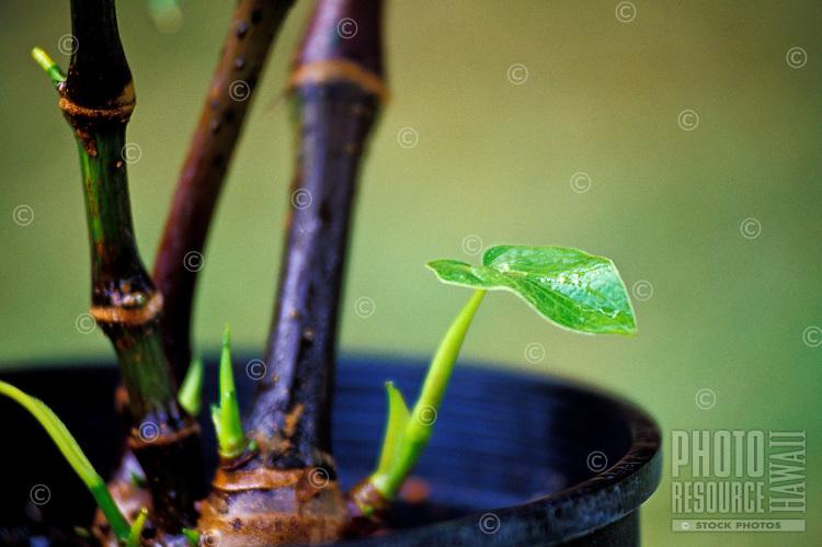 Close-up of awa root, a Hawaiian medicinal plant.